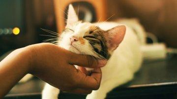 Pourquoi les chats ronronnent ?