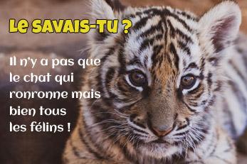 LE SAVAIS-TU ? : Tous les félins ronronnent